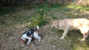 ドッグランで大型犬と遊ぶ写真