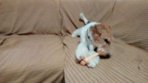 おもちゃをかみ始めるフーちゃんの写真