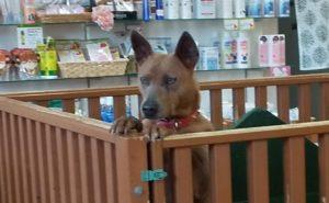 屋久島犬の写真