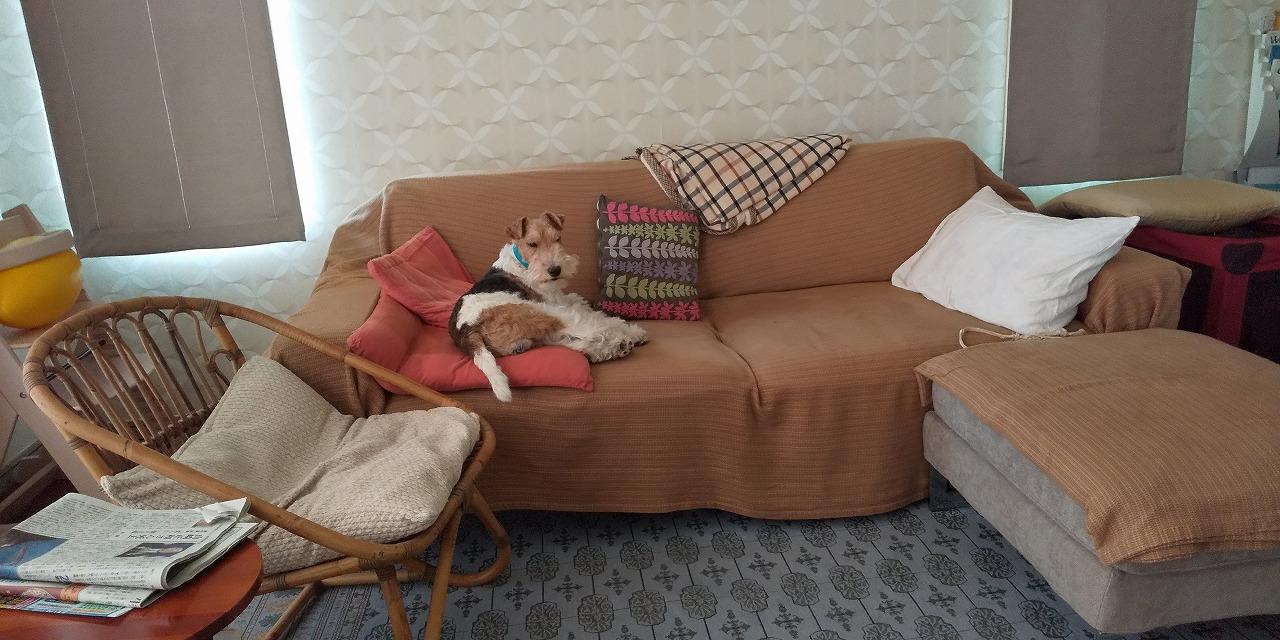 ソファでくつろぐフーちゃんの写真